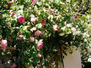 Back climbing rose